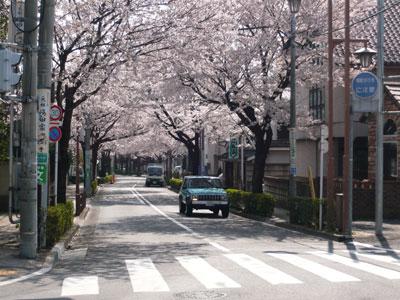 桜並木(武蔵境通りから見た風景)