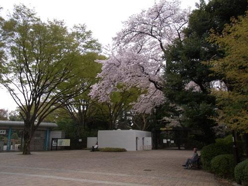 深大寺のサクラ 植物公園正門