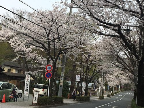 深大寺前の桜