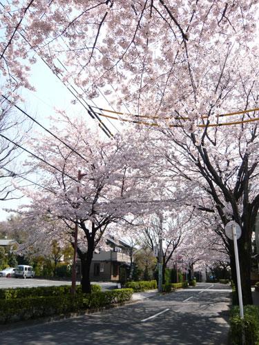 深大寺周辺の桜