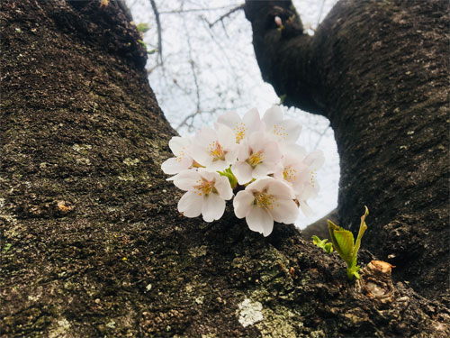野川沿いの桜並木