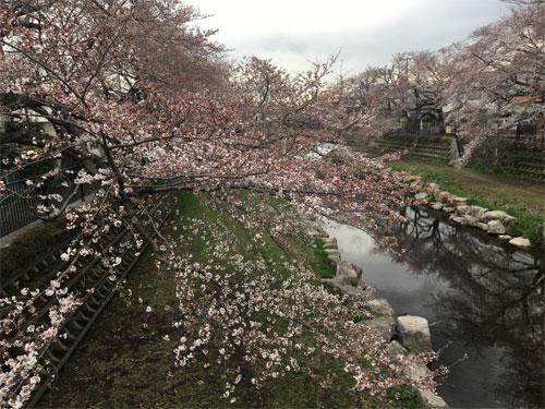 野川の桜並木