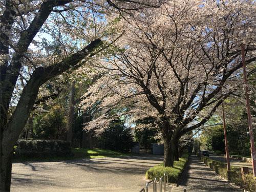 青渭神社の桜